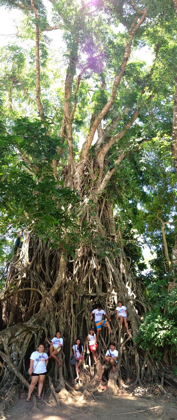 Largest Balete Tree in Asia and 2nd Largest Balete Tree in the World - Baler Adventures