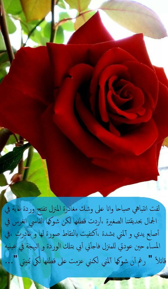 Pin By Bassima On خواطر Rose Plants Flowers