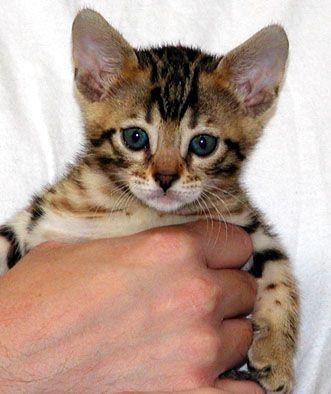 Homemade Kitten Formula glop Kitten formula, Plain