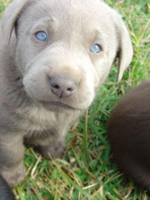Such Pretty Eyes Yellow Lab Puppies Black Labrador Puppy Lab Puppies