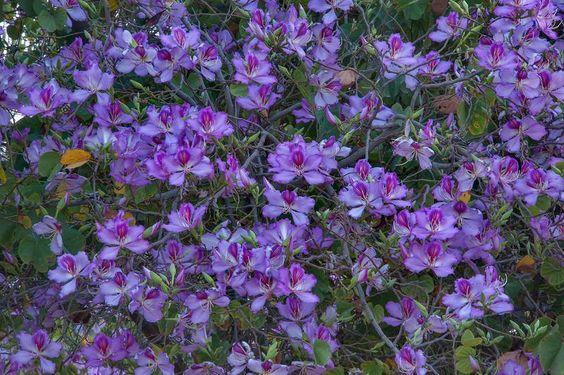 Bauhinia variegata: