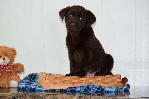 Labrador Retriever Mix Puppy For Sale In Fredericksburg Oh Adn 63799 On Puppyfinder Com Gen Labrador Retriever Labrador Retriever Mix Retriever Mix