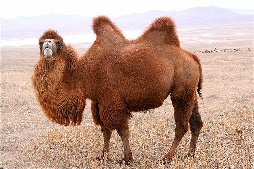 Mongolian Camel.