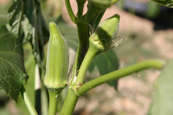 Pruning okra:  Plant the okra seed 12″ apart. When they sprout, pull every other one so the final spacing is 24″. Fertilize regularly, harvesting okra as you normally would in mid-summer. As the stalks reach 6′ tall, clip them at 4′.  This will stop all growth for two weeks but new leaves will soon appear at stem joints. Apply (Miracle Gro) at this time to stimulate vigorous growth.  4 weeks after clipping you should see new flowers and you can harvest okra at a convenient height until…