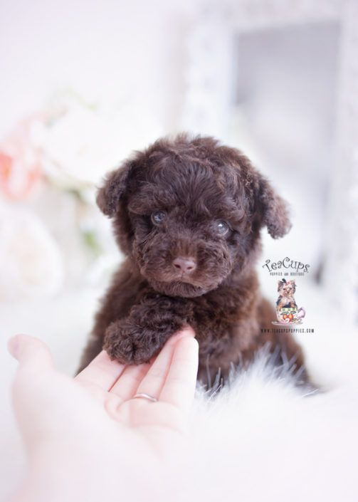 Chocolate Poodles Florida 323 Toy Poodle Puppies Teacup Puppies