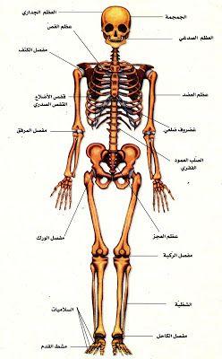 الموسوعة المدرسية الهيكل العظمي وأنواع العظام Cool Science Projects Fun Science Brain Nervous System