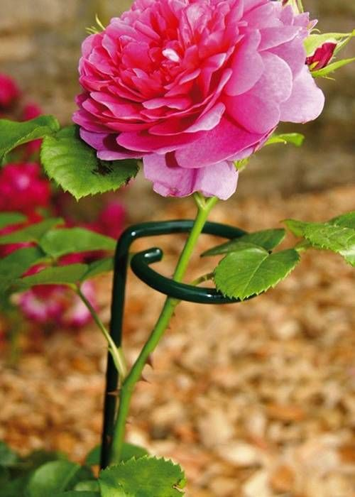 Single Stem Plant Support Keeps Pink Peony Growing Straightly During Its Flowering Phase