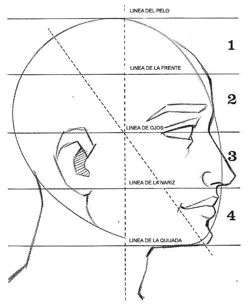 Proporciones de la cabeza vista de perfil