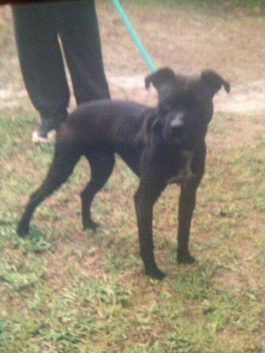 Mississippi Headbusta S Grand Champion Clyde Pitbull Dog
