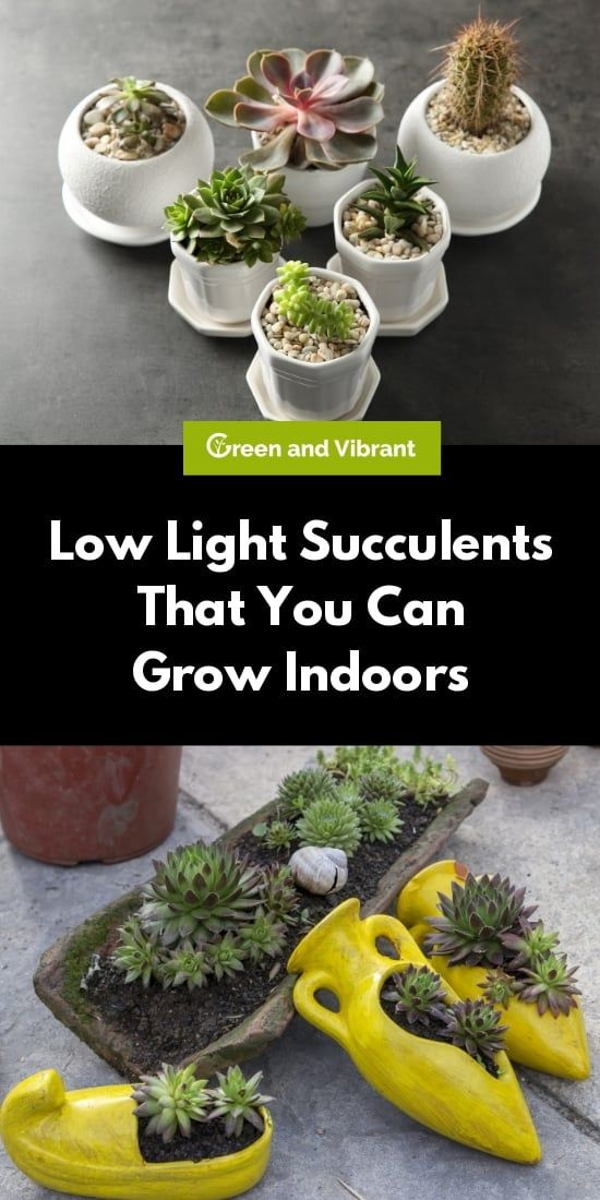 Low Light Succulents That You Can Grow Indoors Low Light Succulents Succulents Succulent Gardening