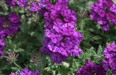 Verbena 'Superbena Purple'
