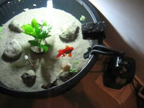 Fancy goldfish in their 150 liter tub youtube home for Fancy fish tanks