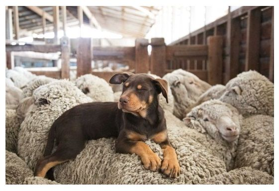 Australian Kelpie and his woolly friends. Photo Credit: Chantel Renae.