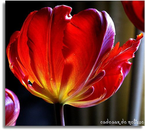 Roccoco Parrot tulips