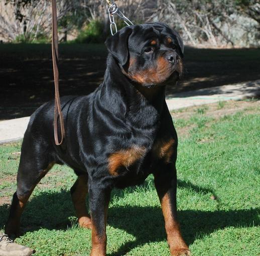 German Rottweiler Puppies For Sale Von Ruelmann Rottweilers Inc