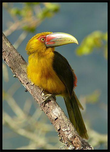 Saffron Toucanet / araçari-banana (Pteroglossus bailloni) by Luis Florit, via Flickr