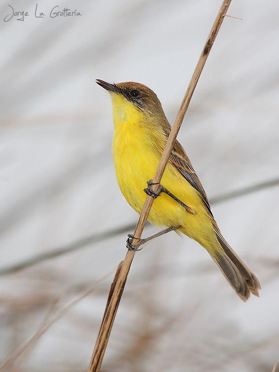 Pseudocolopteryx flaviventris - Doradito - Freebirds