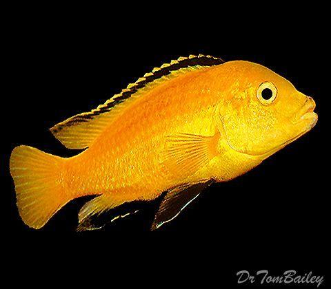 Lemon Yellow Cichlid Featured Item Lemon Yellow Cichlid Fish Petfish Aqu Aqu Cichlid Fea African Cichlid Aquarium African Cichlids Cichlid Fish