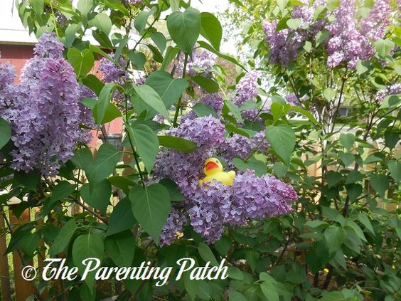 The Duck and the Lilacs: The Rubber Ducky Project Week 24 | Parenting Patch