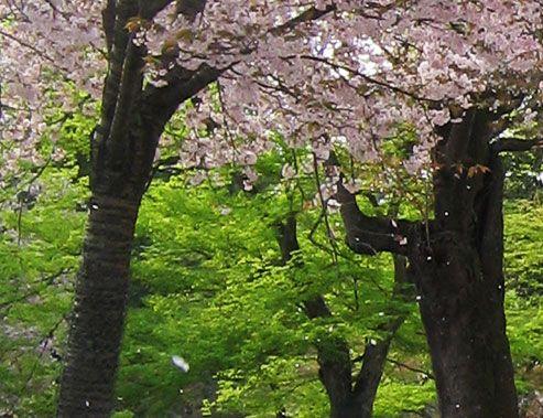 桜吹雪   なら散策日記【鹿と亀と猫と犬の日々】