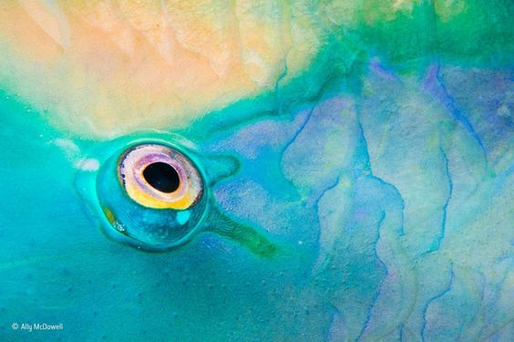 Eye in focus της Ally McDowell (ΗΠΑ/Ηνωμένο Βασίλειο). Η Ally συχνά φωτογραφίζει χρώματα και μοτίβα του βυθού. Εδώ εστίασε στο μάτι ενός ψαριού. Φωτογραφία: Ally McDowell/2016 Wildlife Photographer of the Year