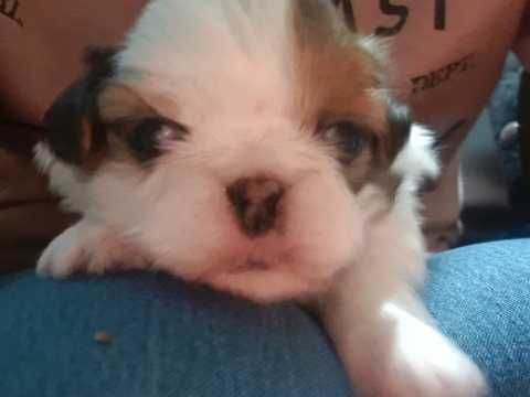 Imperial Shih Tzu Puppies For Sale Shih Tzu Puppy Puppies For