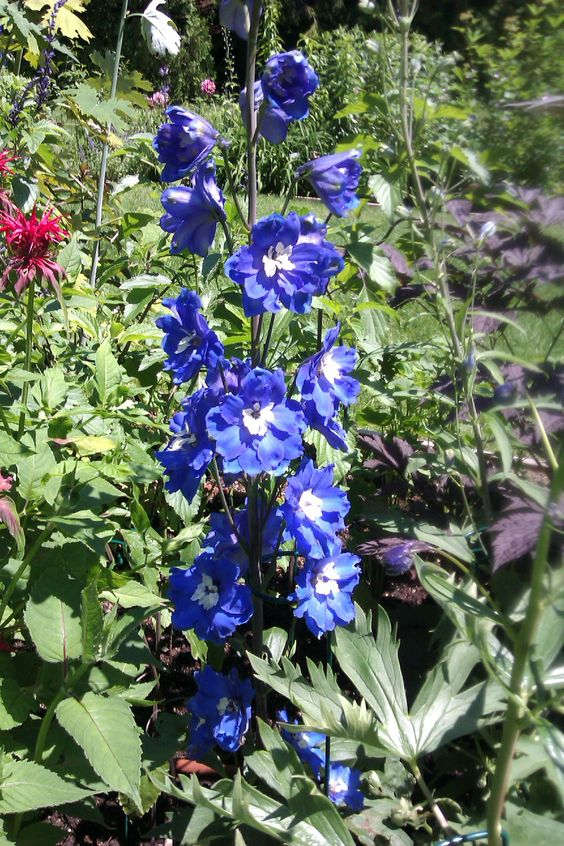 Tall Delphinium Blue Bird also known as Larkspur (from the Thuya gardens)