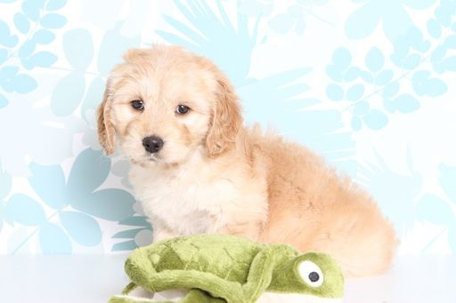 Dachshund Goldendoodle Mix Puppy For Sale In Naples Fl Adn 71917
