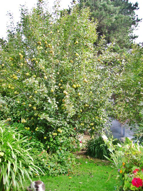 árbol de pera en época frutal #eljardíndemiabuela