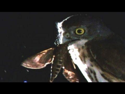Hawk vs owl - photo#26