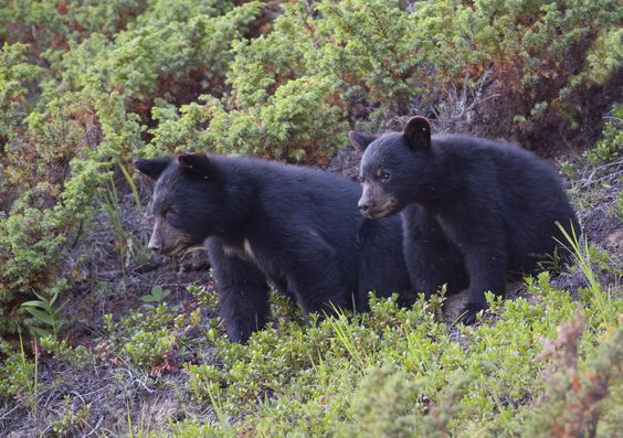 Black Bear cubs watching below