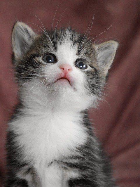 Free Image On Pixabay Cat Baby Kitten Cat Baby Cat In 2020