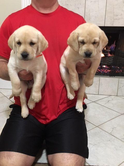 Labrador Retriever Puppy For Sale In Baytown Tx Adn 62302 On Puppyfinder Com Gender Male Age Labrador Retriever Labrador Retriever Puppies Retriever Puppy