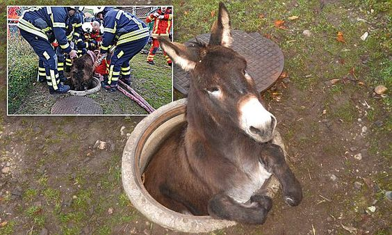 I've made an ass of myself: Donkey rescued after falling down manhole