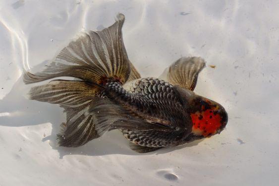 Pin on 金魚