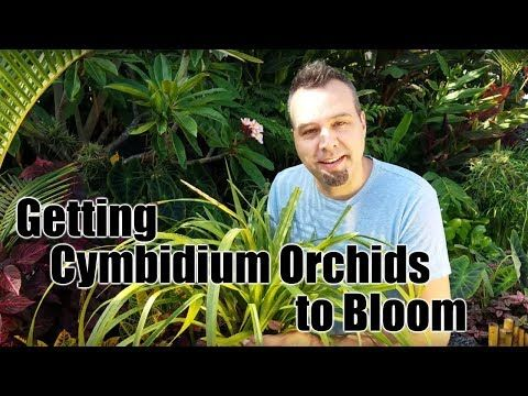 Getting Cymbidium Orchids To Bloom Youtube Cymbidium Orchids Orchids Looking After Orchids