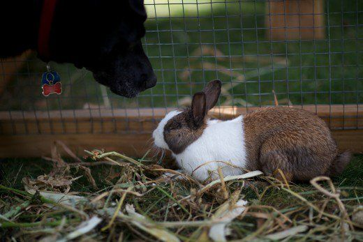 Dog Breeds That Will Get Along With Your Rabbit Rabbit Dog