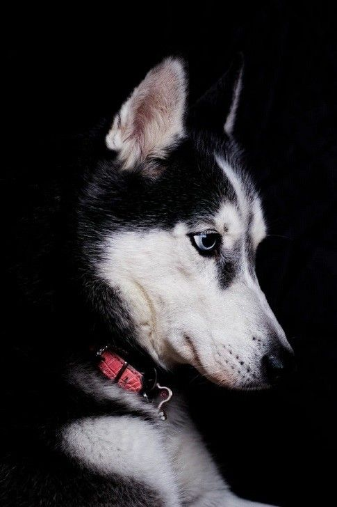Siberian Husky The Worst Dog Breeds For Families With Young Kids
