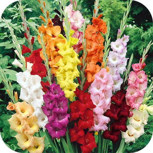 How To Grow Gladiolus And Add Color To Your Garden Add Color Garden Gladiolus Grow Wallpapers 4k Gladiolus Flower Gladiolus Summer Flowering Bulbs