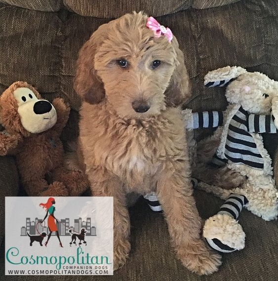 Apricot Medium Goldendoodle Puppy Www Cosmopolitandogs Com Www