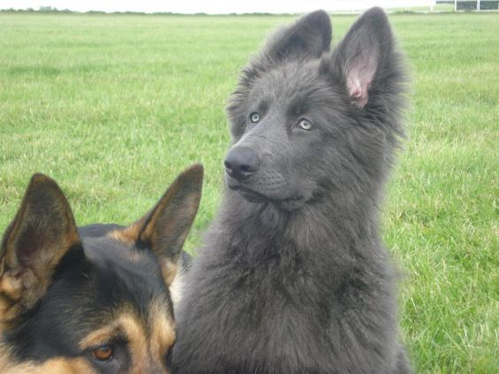 The breeder took a blue German shepherd and combined it with other shepherds with wolf heritage to get the wolf like look with the gorgeous temperament of a trainable dog. Description from pinterest.com. I searched for this on bing.com/images