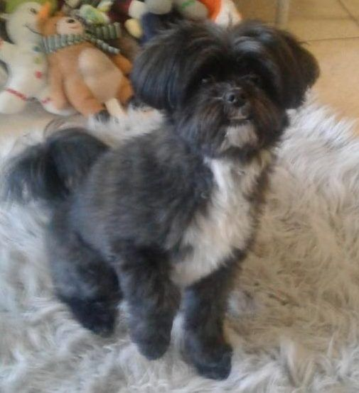 Lap Dogs For Rehoming Adoptable Pet Listings Cava Tzu Puppies For