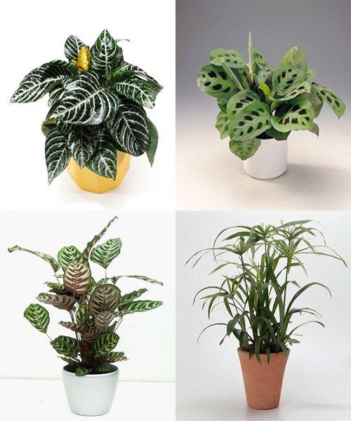 Afelandra caladio calatea y paraguas plantas de for Plantas de interior con poca luz