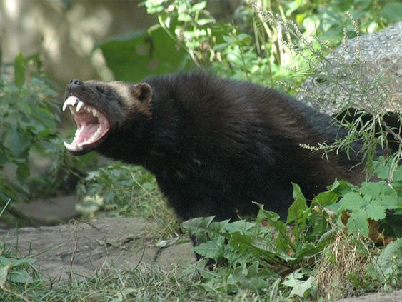 WOLVERINES- so elusive they are hardly ever seen. They are the largest members of the weasel family (weasels, ferrets, skunks) and is said that bears back down from this much smaller animal.