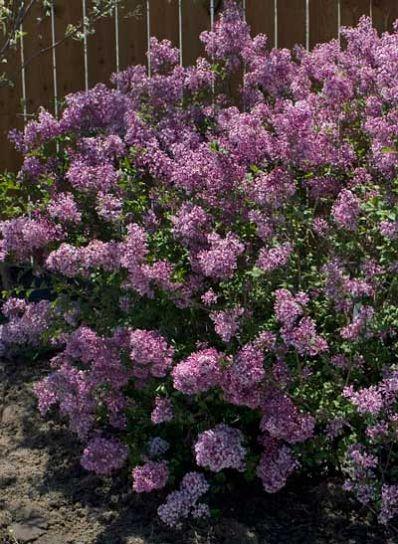 Bloomerang Purple Lilac - Syringa x Bloomerang PPAF - Brighter Blooms Nursery