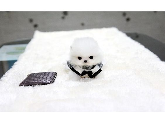 listing Four Micro Teacup Pomeranian Puppies for... is published on Free Classifieds USA online Ads - http://free-classifieds-usa.com/for-sale/animals/four-micro-teacup-pomeranian-puppies-for-adoption-909-296-7704_i25674