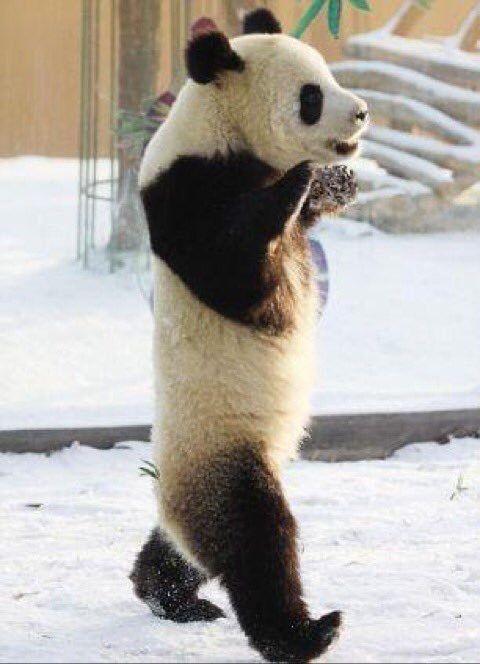 二足歩行のパンダ