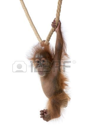 Baby Sumatran Orangutan hanging on rope 4 months old in front of white background Stock Photo