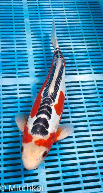 A breathtaking shusui this koi has a beautiful pastel for Carpe koi shusui
