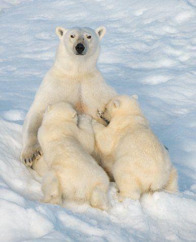 Amamantando a sus crías